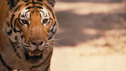 Tygři vládnou zvířecí říši, jejich počet na planetě bohužel klesá