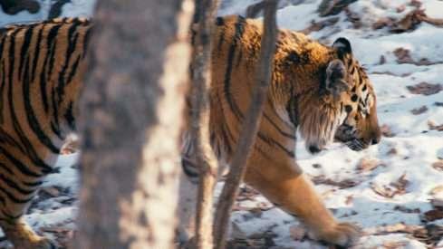 Plavání je pro tygry zálibou, stejně tak běhání