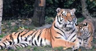 Tygr je král zvířecí říše