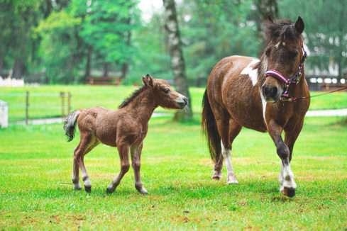 American Miniature Horse park Boheminium