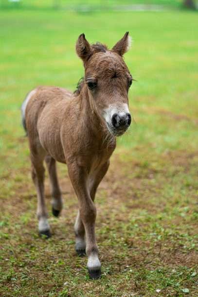 American Miniature Horse park miniatur
